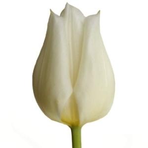 white tulip, bunga tulip, tulip belanda, tulip putih, bridal tulip, tulip pengantin, tulip pernikahan